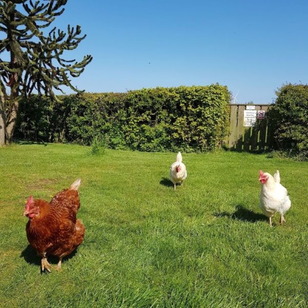 North Kingsfield Cottages Mill House chickens